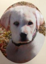 Laci-puppy